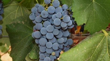 La història del carló. Un vi castellonenc de fama internacional