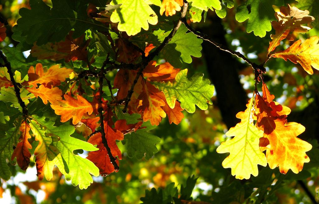 Hojas de roble durante el otoño. Autor, Mr Porse