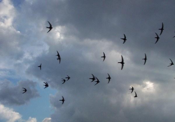 2. Vencejos en el cielo de la tarde. Autor, Tomasz Kuran