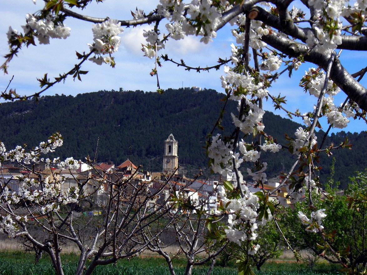 Cerezos en flor con La Salzadella de fondo. Autor, Ayuntamiento de La Salzadella