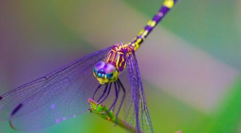 Las libélulas