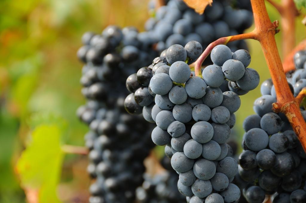uva vino medieval Castellón Comunidad Valenciana