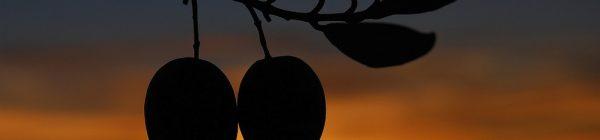 Entre olivos milenarios