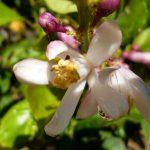 Flor del cidro