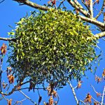 mistletoe parásito