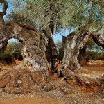 Olivos milenarios de Castellón