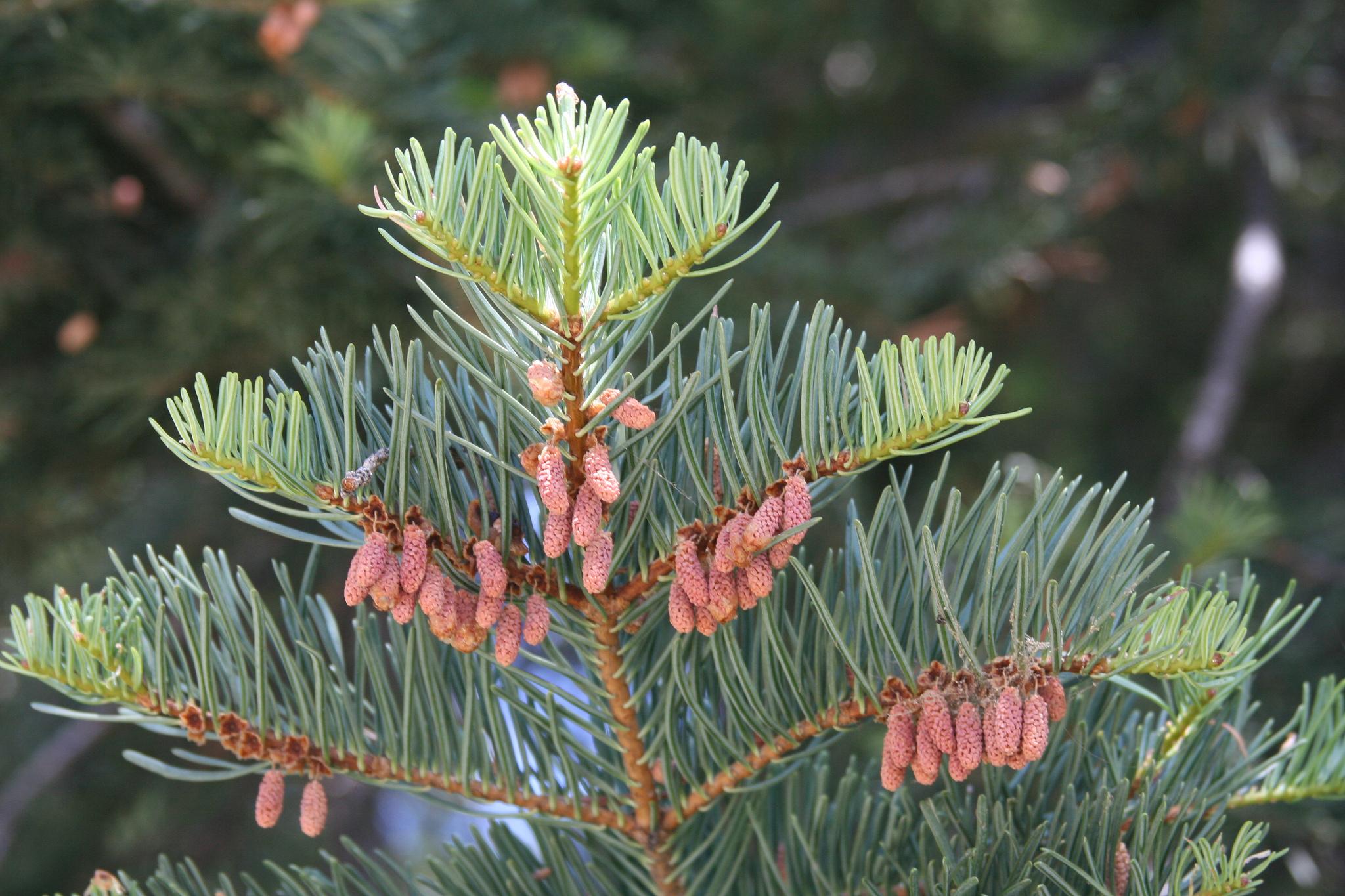 1 Abies concolor. Autor, Brian Bollman