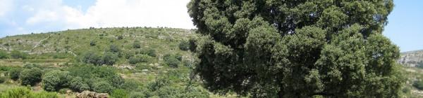 Un monument natural: La carrasca de Culla