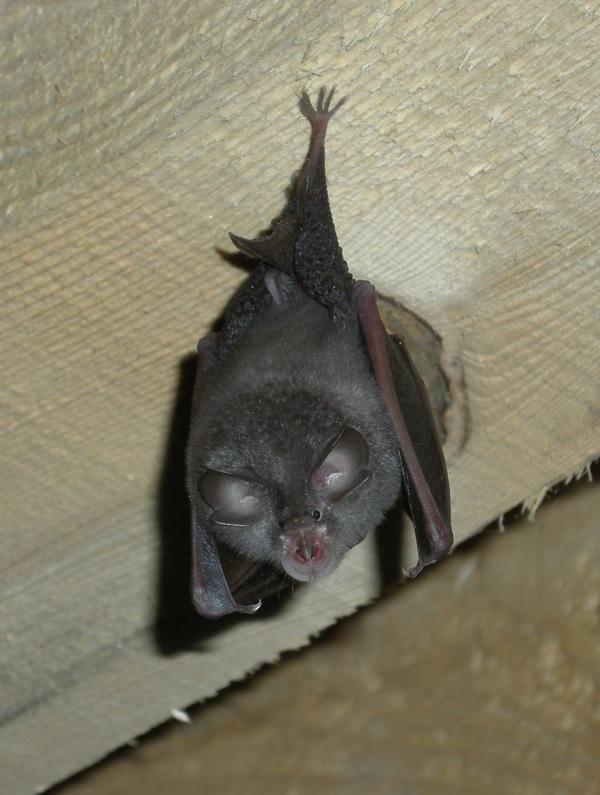 2. Murciélago de Herradura colgado de una viga. Autor, GaMip