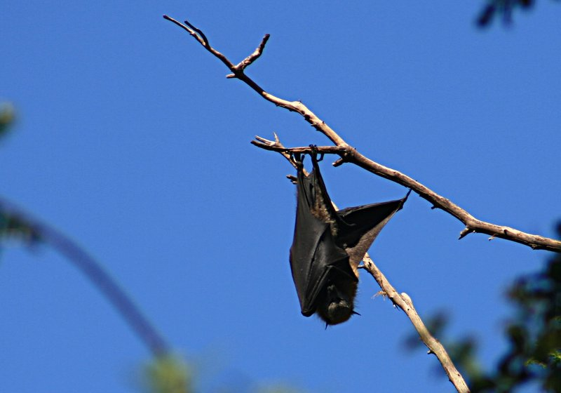 5. Murciélago comedor de frutas. Autor, Frank Starmer