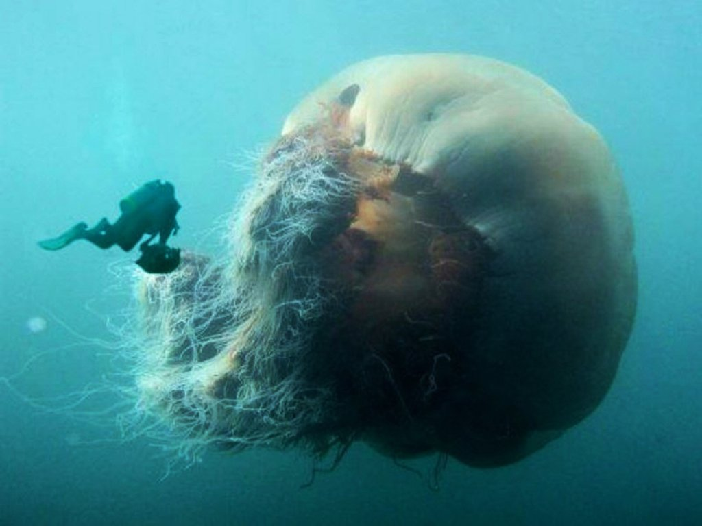 6. Ejemplar de medusa gigante