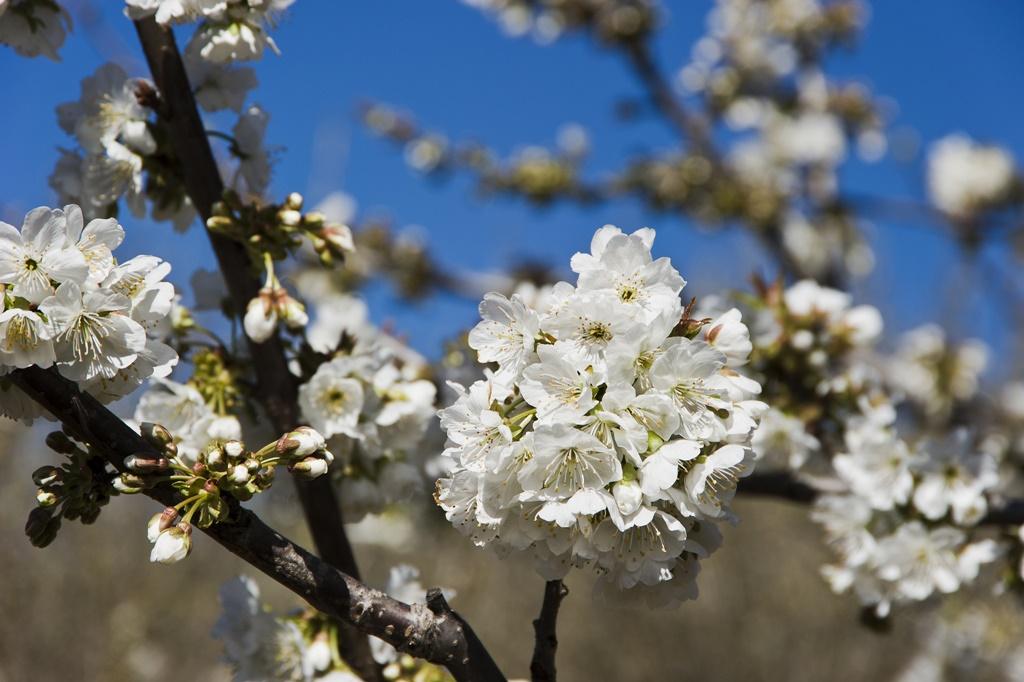 Cerezos en flor. Autor, Miquel González Page