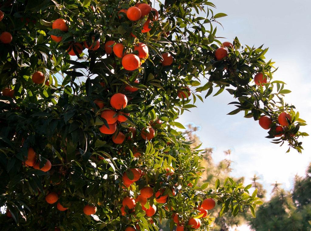 Naranjos. Autor, Jaime Oro