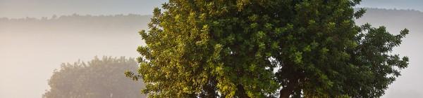 El algarrobo, vigía del Mediterráneo