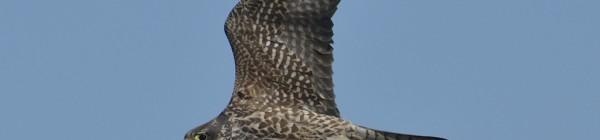 Descubriendo al halcón peregrino (Falco peregrinus)