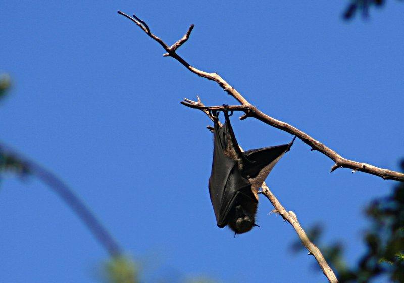 Murciélago comedor de frutas. Autor, Frank Starmer