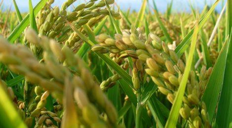El arroz, icono de la cultura valenciana