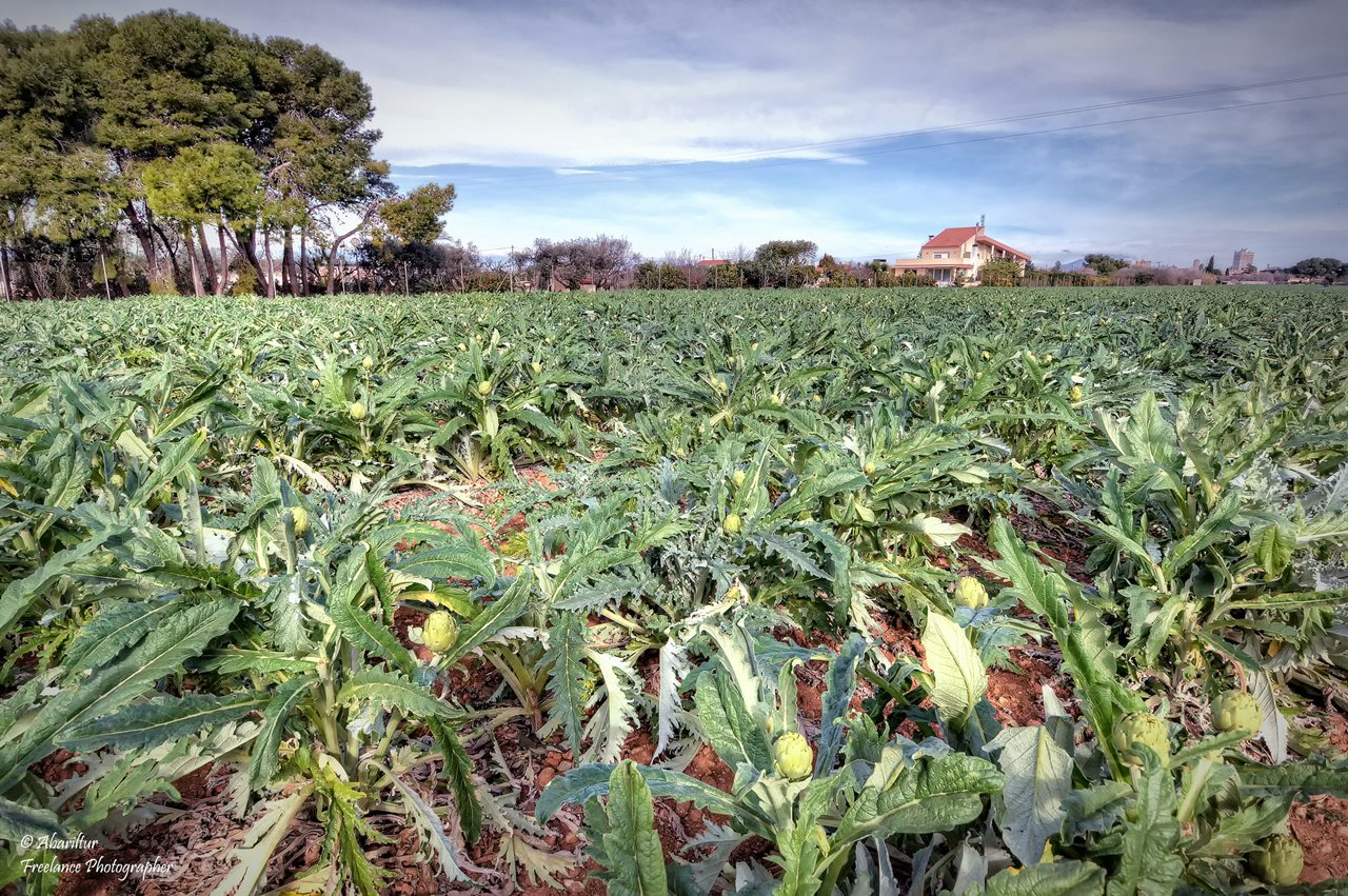 Campo de alcachofas en Benicarló. Autor, Abariltur