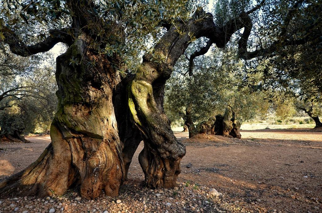 Olivos milenarios en Canet lo Roig. Autor, iciriza