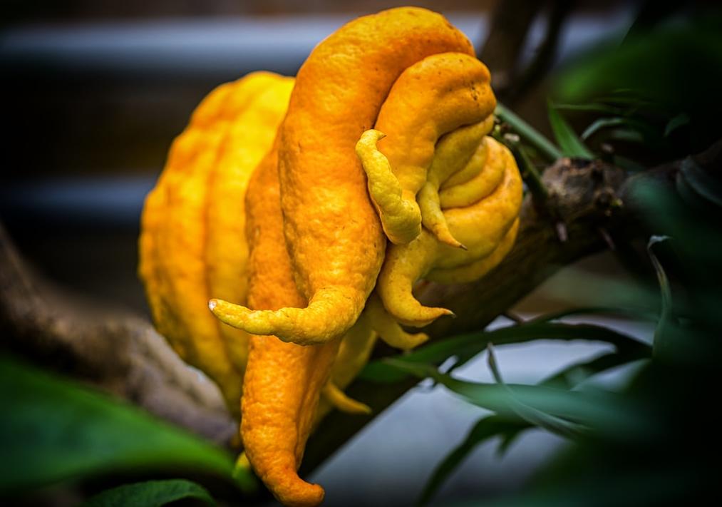 idra, citrus medica var. sarcodactylis