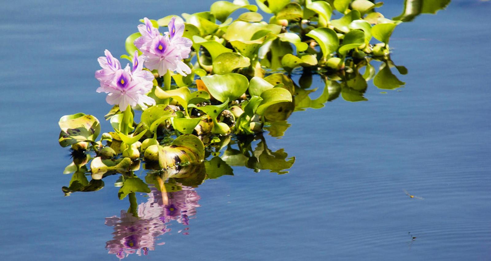 jacinto de agua Castellón especie invasora