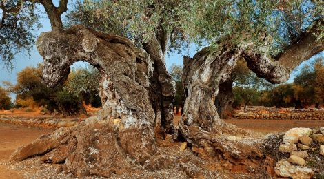 olivo milenario castellon