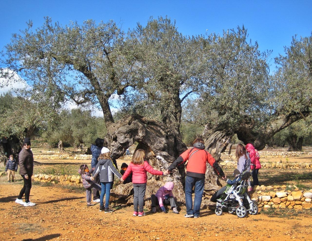 aceite oliva olivos milenarios castellon