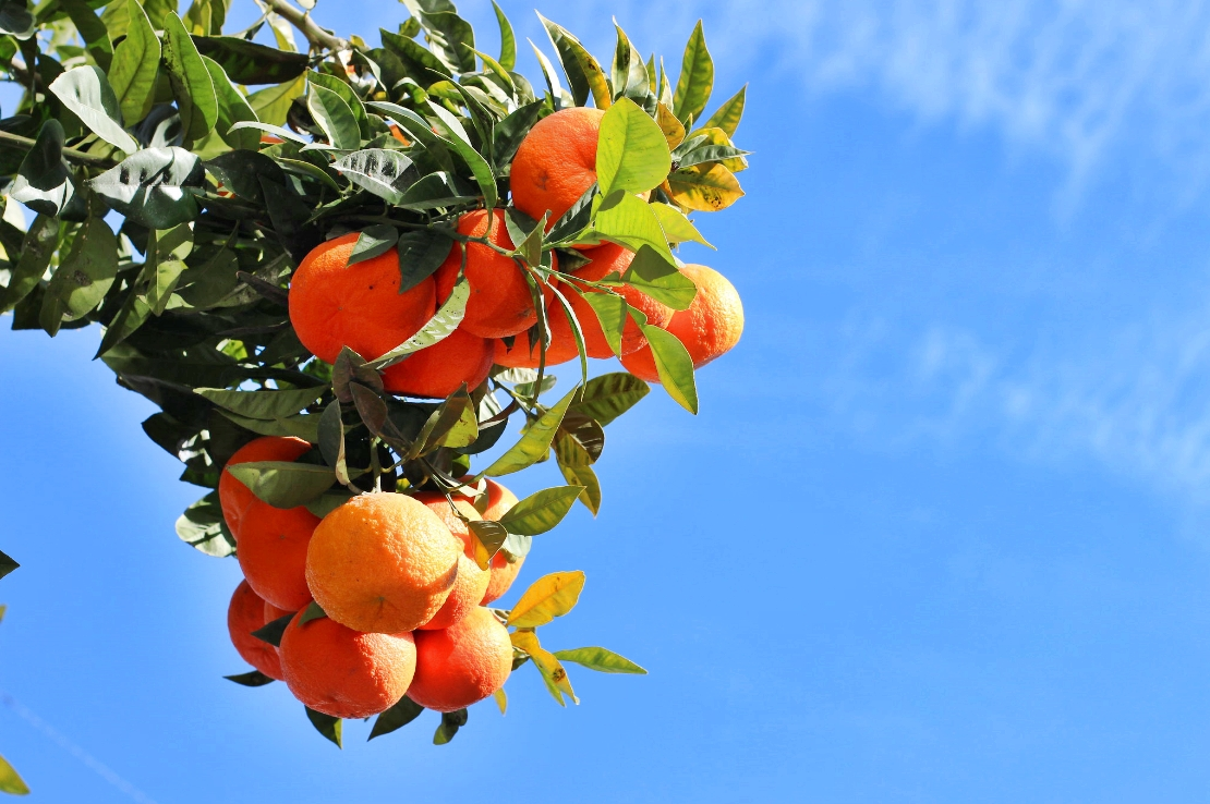 naranjos naranjas castellon